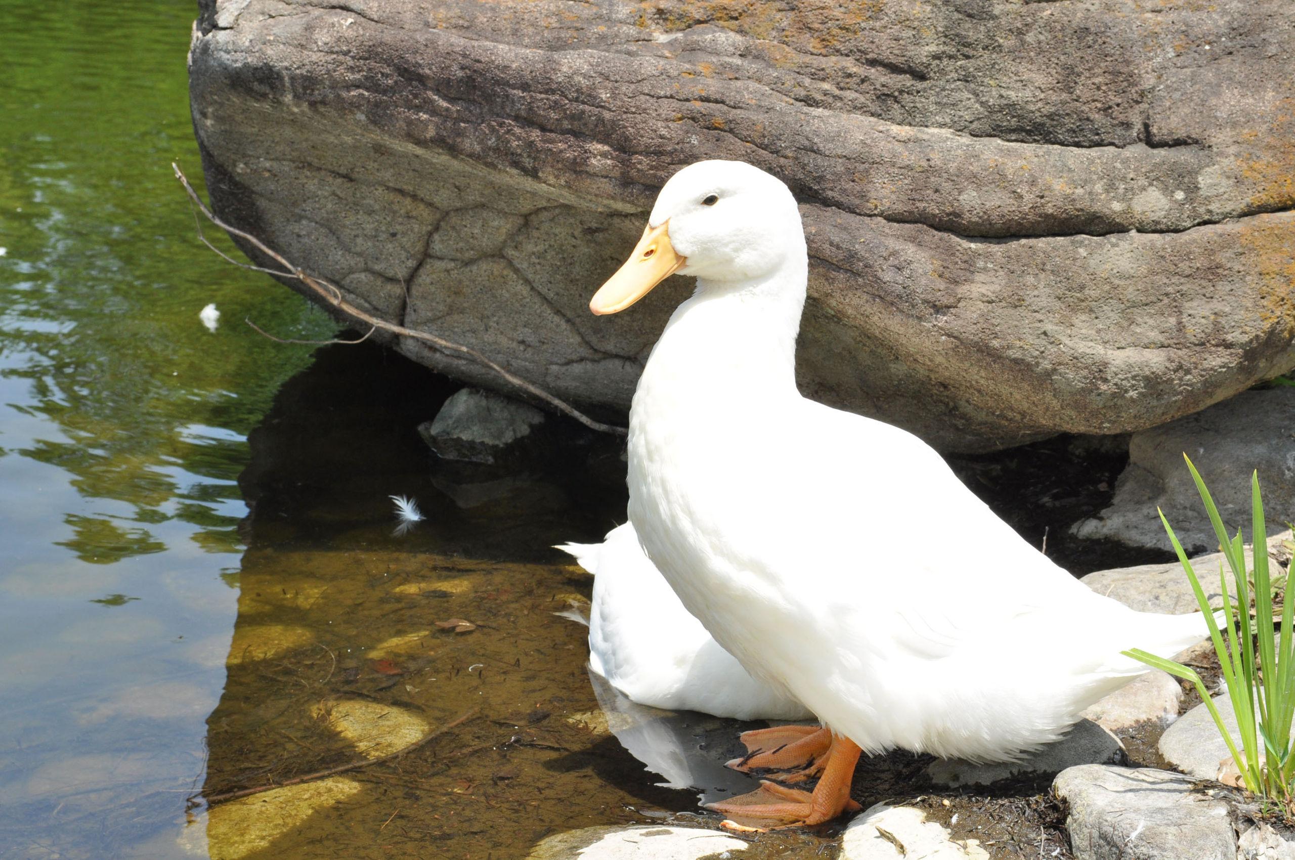 Duck0001